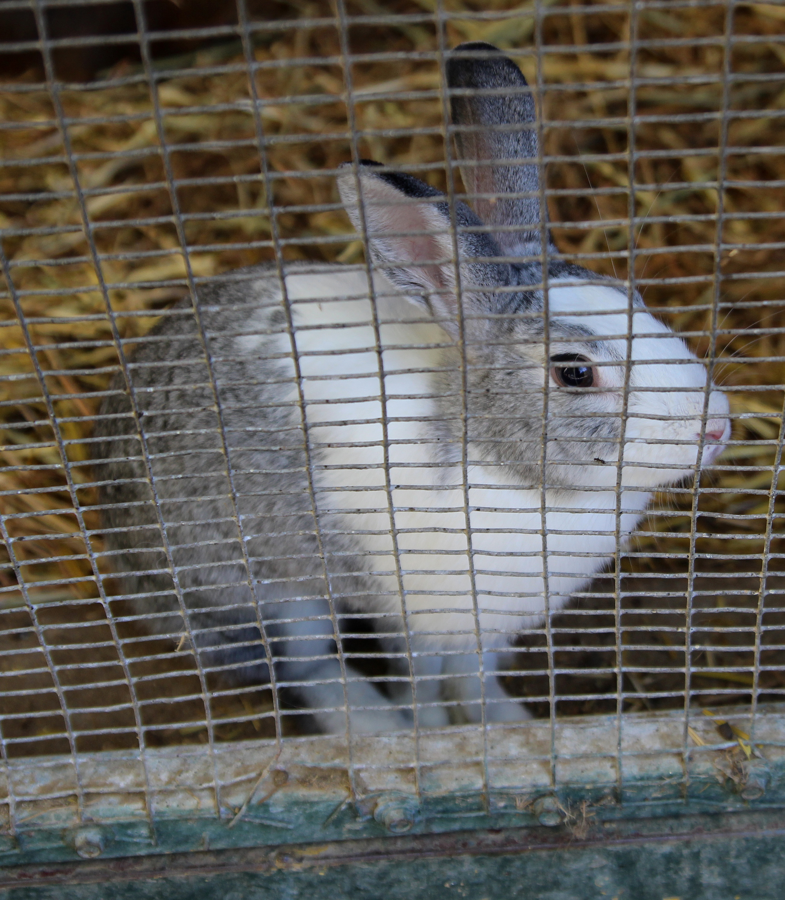 Rabbit in the Petting Zoo