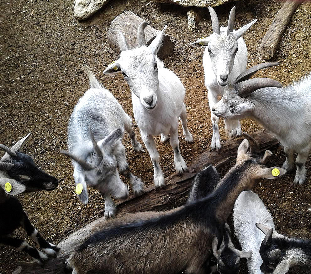 Feeding time for the goats